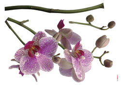 Orchids Wall Stickers