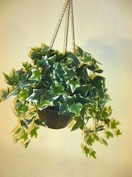 Assorted Hanging Greenery