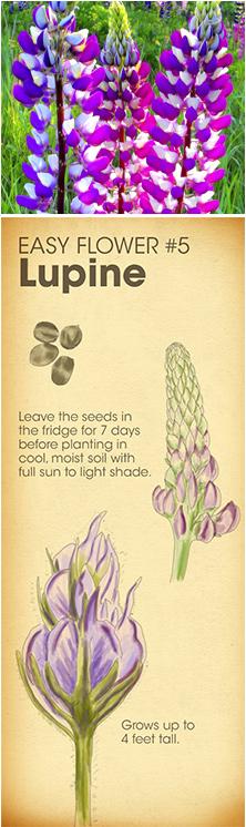 Easy Flower #5 - Lupine