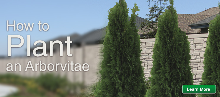 How to Plant an Arborvitae
