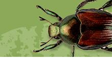 Japanese Beetle Prevention