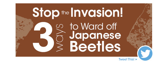 Stop the Invasion! 3 Ways To Ward Off Japanese Beetles