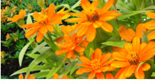 6 Heat-Tolerant Annuals