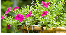 Healthy & Happy Hanging Flower Baskets