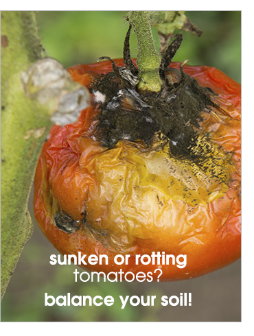 Sunken or rotting tomatoes? Balance your soil!
