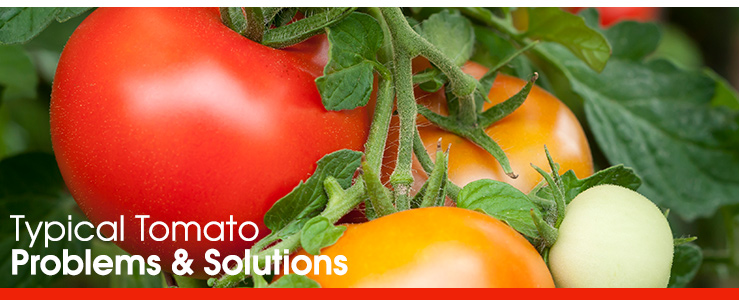 Typical Tomato Problems & Solutions