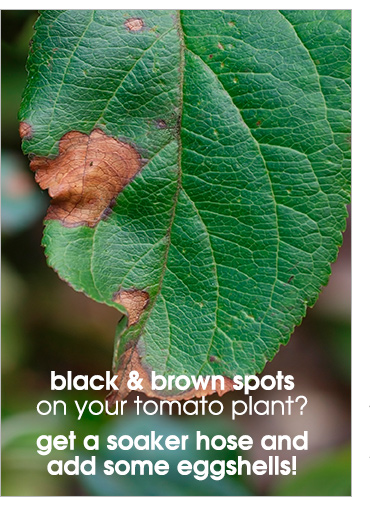 Black and brown spots on your tomato plant? Get a soaker hose and some eggshells!