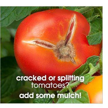 Cracked or splitting tomatoes? Add some mulch!