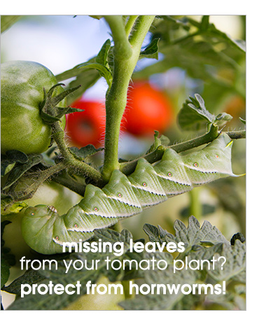 Missing leaves from your tomato plant? Protect from hornworms!