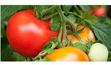 Tomato Problems