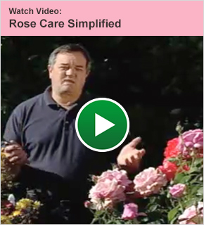 Watch Video: Rose Care Simplified