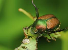 Japenese Beetles