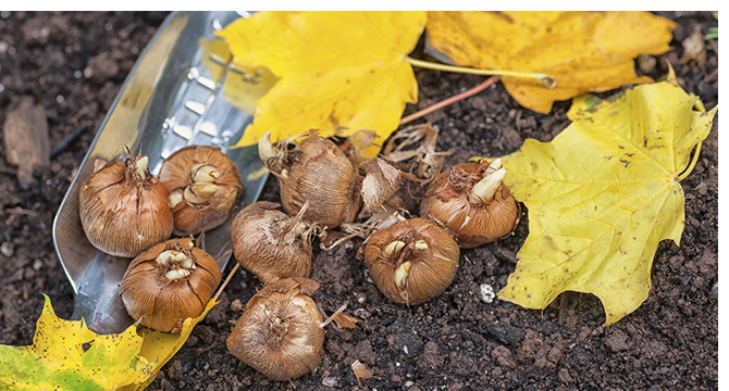 Planting Fall Bulbs